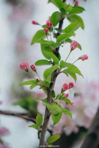 可爱的海棠花花苞手机壁纸