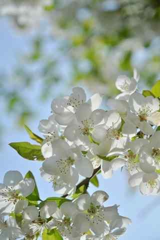 美丽的白色海棠花手机壁纸(3张)