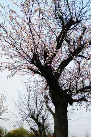 美丽的杏花树手机壁纸(3张)
