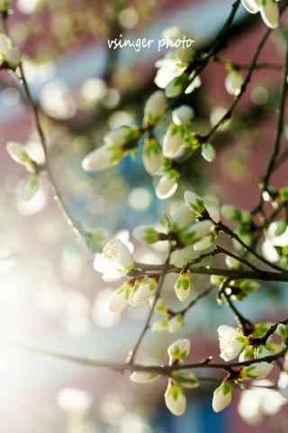 唯美的光晕与杏花手机壁纸(6张)