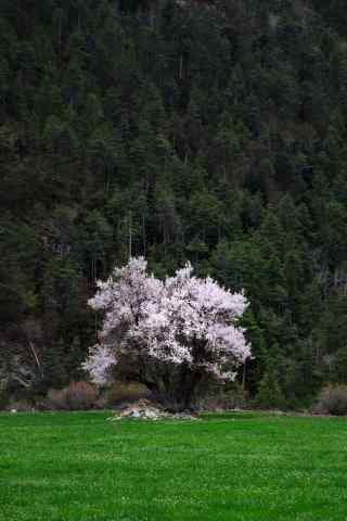 一棵美丽的杏花树手机壁纸