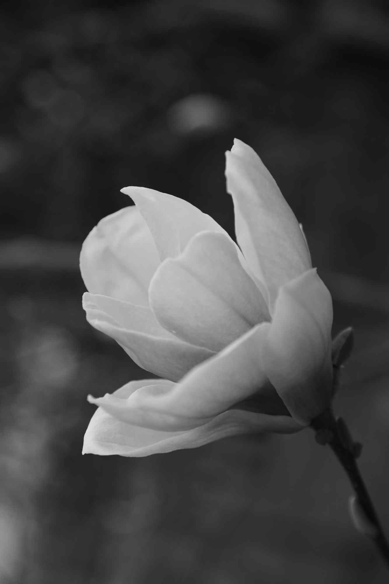 黑白色调玉兰花手机壁纸(5张)