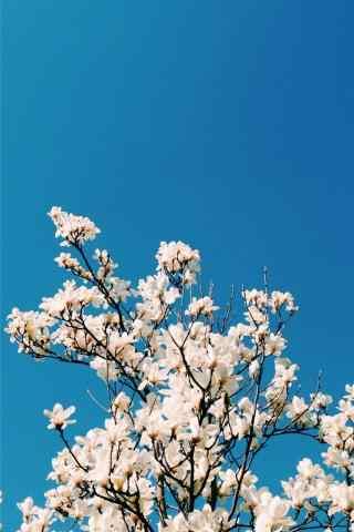 玉兰花与蓝天手机壁纸(6张)