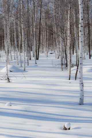 唯美的雪中白桦林手机壁纸
