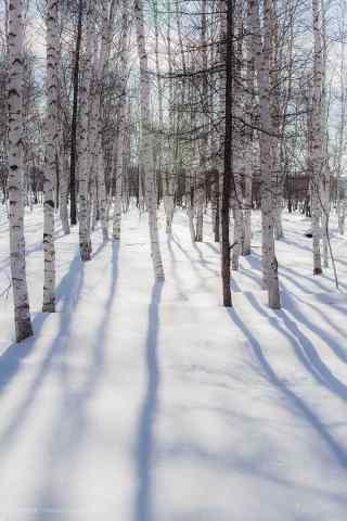 冬日白桦林手机壁纸