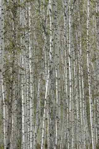 白桦林创意摄影图片手机壁纸