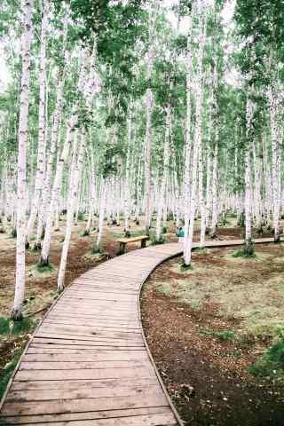 白桦林间悠长小道手机壁纸