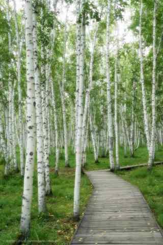翠绿的白桦林手机壁纸