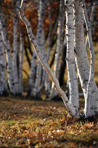 秋日童话之白桦林手机壁纸
