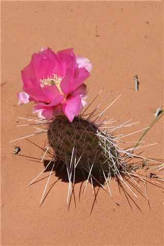 沙漠中的仙人掌开花手机壁纸