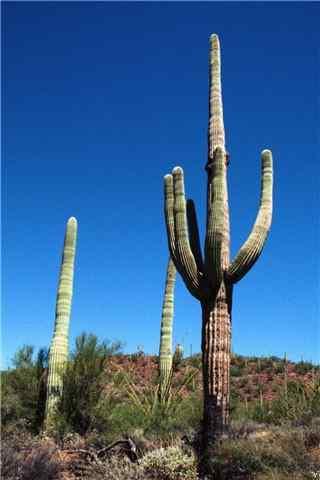 沙漠中的仙人掌手机壁纸