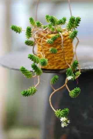 可爱的多肉植物盆栽手机壁纸