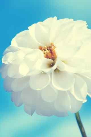 唯美白色花朵手机壁纸