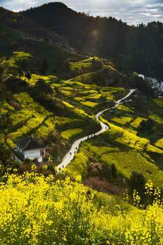 山上的油菜花风景图片