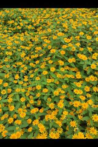 满山遍野的小黄花手机壁纸