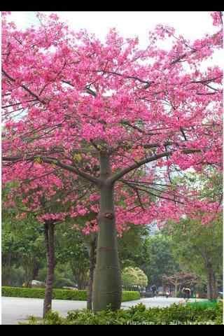 灿烂盛开的美人树