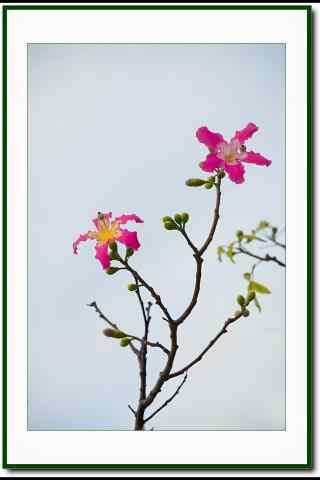小清新的美人树花