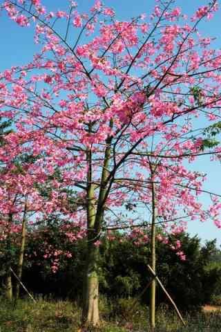 唯美绽放的美人树