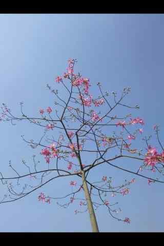 蓝天下的美人树手