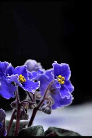 唯美的紫罗兰手机壁纸