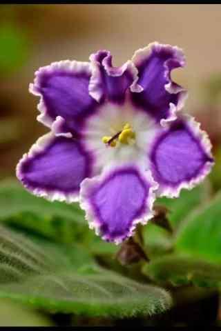 独特的紫罗兰花手机壁纸