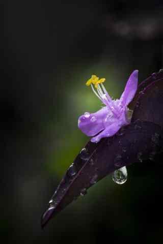 唯美的紫罗兰花手机锁屏