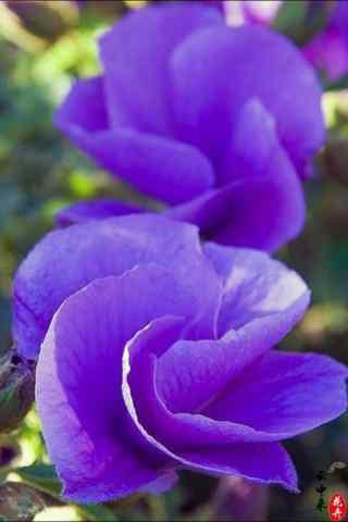 阳光下唯美的紫罗兰手机壁纸