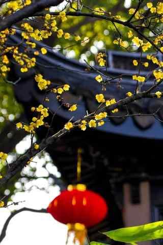 腊梅枝上的红灯笼