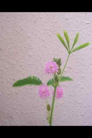 清新淡雅的含羞草