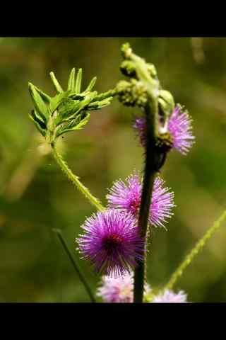 盛开的含羞草花手