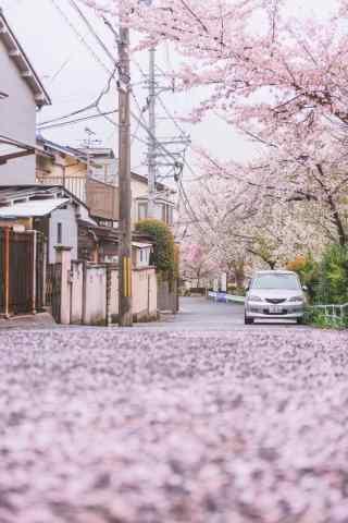 樱花花瓣铺满整个街道手机壁纸