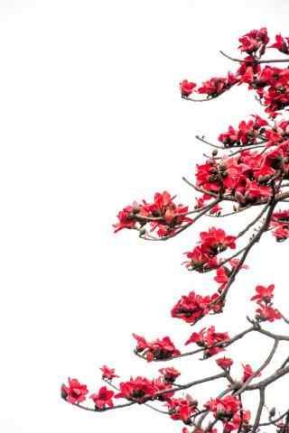 红艳艳的木棉花手