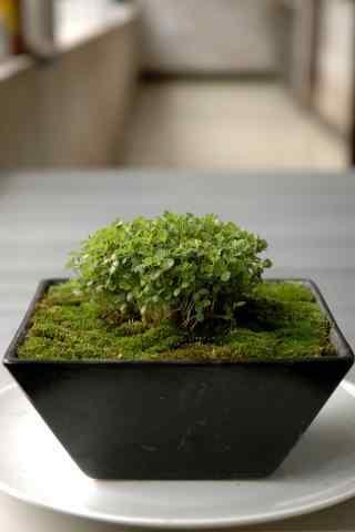 绿色植物青苔小盆栽手机壁纸