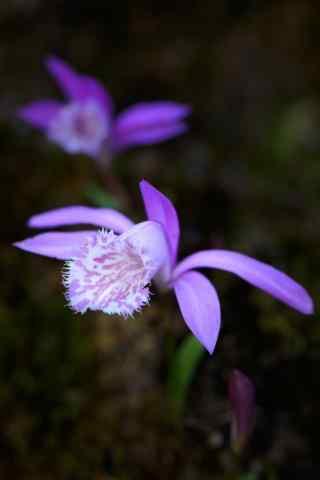唯美紫色兰花手机壁纸