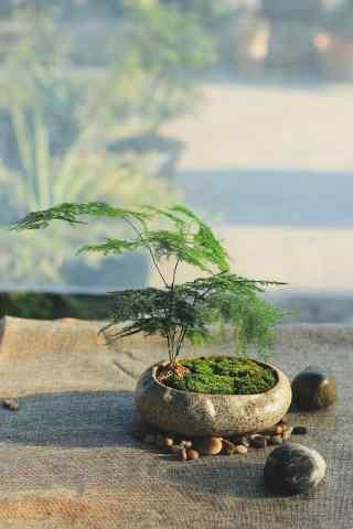 唯美小清新文竹盆栽桌面壁纸