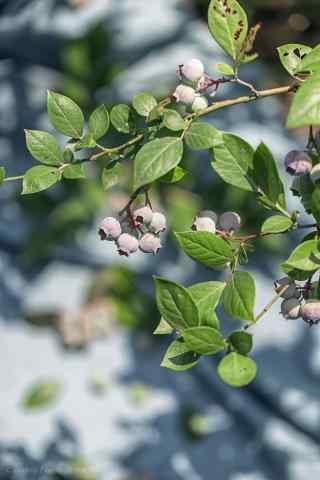 开满果实的蓝莓枝手机壁纸