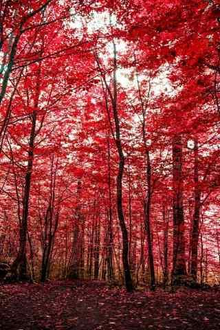 植树节—火红的枫