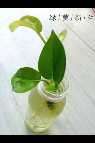 小清新绿萝植物手机壁纸