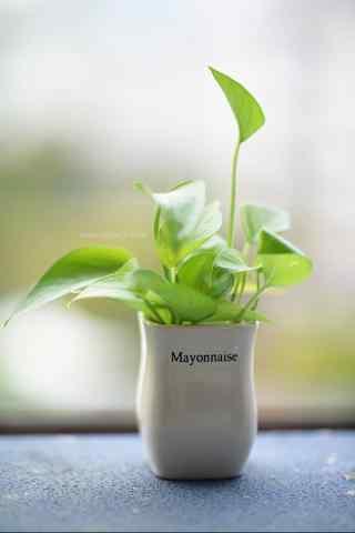 好看的小清新绿萝盆栽手机壁纸