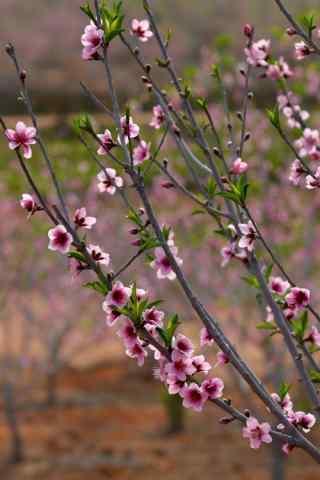 春日花朵手机壁纸