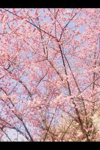 好看的春日樱花手