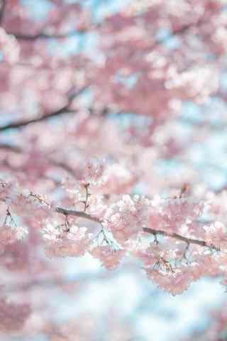 唯美的春日樱花手