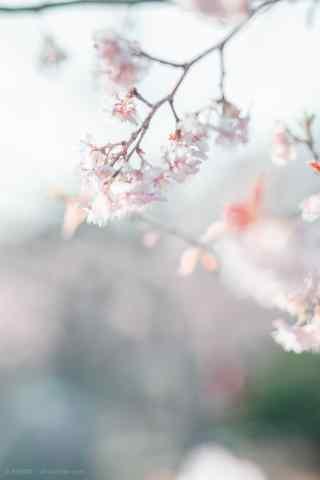 春日唯美樱花手机