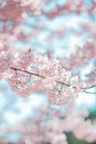 唯美樱花图片手机