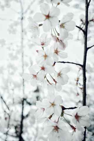 春日花团锦簇的樱