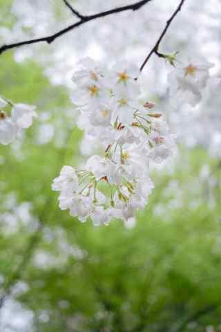 春日小清新桃花手