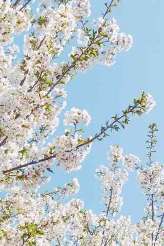 小清新日系樱花树