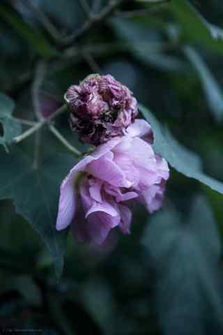 唯美紫色芙蓉花桌面壁纸