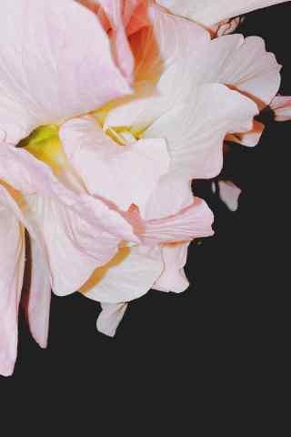 唯美好看的粉色芙蓉花手机壁纸