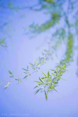 清明节习俗-唯美柳树手机壁纸